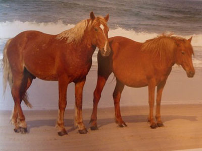 Wild Horses of Corolla North Carolina