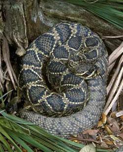 Easter Diamond Back Rattle Snake