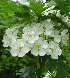 God S Good Herbs Hawthorn Berry Lucinda Bedogne Cnhp Cnc