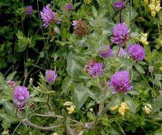 God's Good Herbs - Red Clover - Lucinda Bedogne, CNHP, CNC